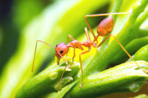 Allergic Reactions To Fire Ant Stings
